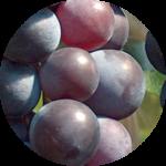 ブドウ果実幹細胞