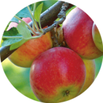 リンゴ果実幹細胞